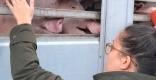 Alba Serrano acomiadant-se d'un porc abans d'entrar a l'escorxador