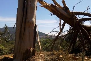Aquest és l'aspecte de com ha quedat l'arbre després de la caiguda del llamp