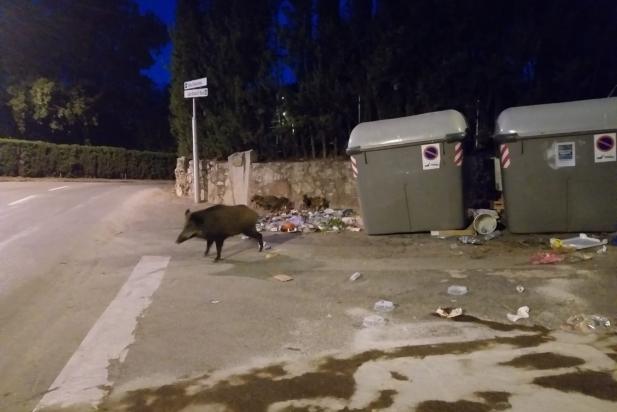 Senglars al voltant de contenidors a Sant Feliu del Racó