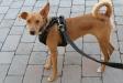 En Mac és un dels gossos de Caldes Animal que ha estat adoptat aquest 2021 - A.G.